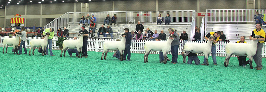 Oxford Yearling Ewe Class at NAILE 2017